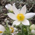 Anemone pulsatilla (Pasque Flower)