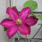 Clematis 'Madame Edouard Andre'