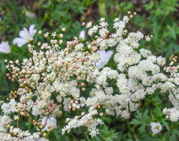 Filipendula 'vulgaris 'Fleuro Pleno'