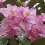 Rhododendron Smirnowii