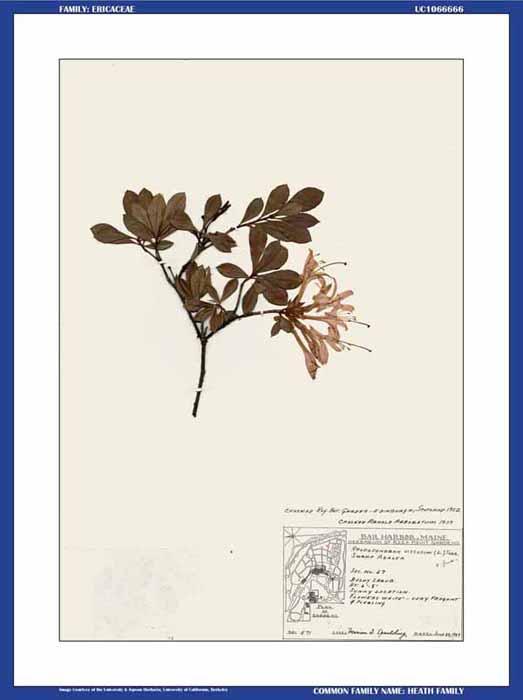 Swamp azalea