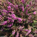 Calluna vulgaris 'Tib' (Heather)