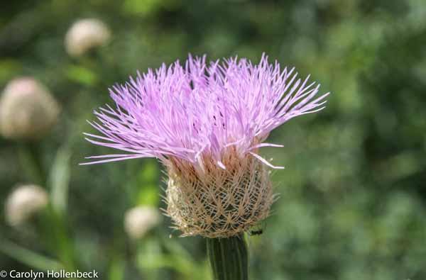 Centaurea americana (Basketflower)
