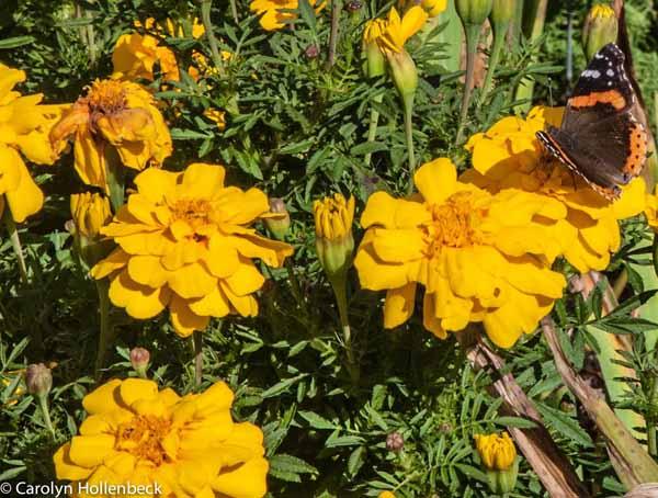 Tagetes patula (Dwarf French marigold)